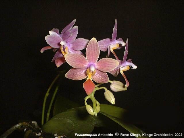 Phalaenopsis Ambotris??? 02ph0285