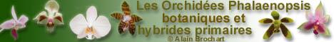Les Orchidées Phalaenopsis botaniques et hybrides primaires