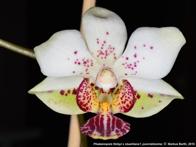 Phalaenopsis finleyi x Phalaenopsis stuartiana